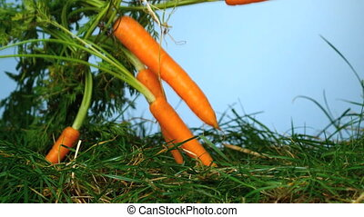 Carrots falling over grass on blue background in slow motion