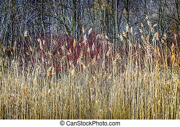 Winter reeds and forest