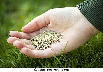 mão, segurando, capim, semente