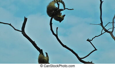 Lemurs playing on tree with blue sky on the background