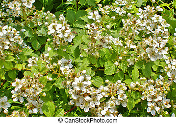 Blossoming blackberry bush and bees, sunny spring day