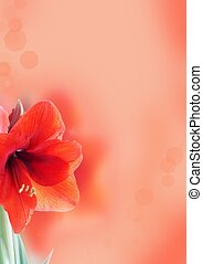 background with amaryllis flower - a light red background...