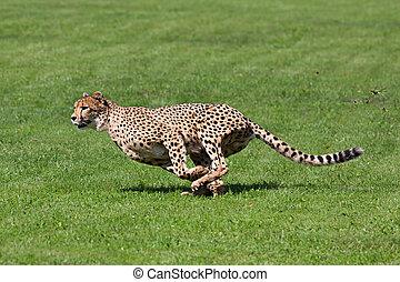 Running cheetah - Photo cheetah running across the grass,...