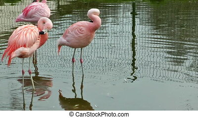 Flamingo birds in lake drinking water