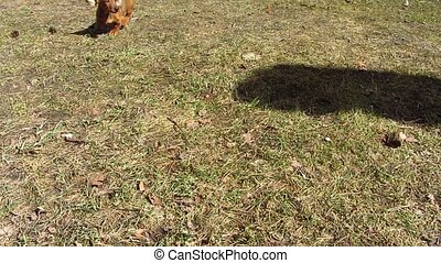 dachshund puppy is running for shadow