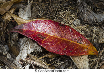 Red Autumn Leaf on the ground over mulch.
