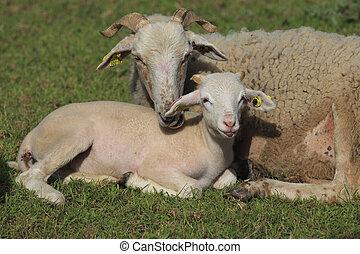cordero, oveja