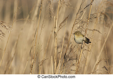 little bird in the reeds of the marsh