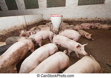 Pig farm - Pigs during feeding
