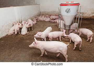 Pig farm - Pigs during feeding