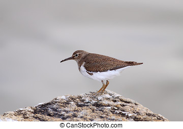 Common sandpiper - Detailed photo of a common sandpiper...