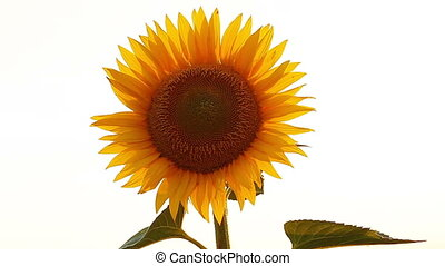 blooming sunflowers on a white background