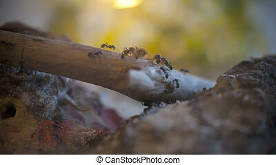 Ants Messor Barbarus at hunting in Timelapse