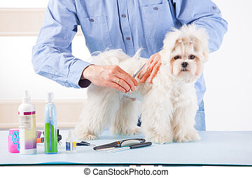 Dog grooming - Smiling man grooming a dog purebreed maltese...
