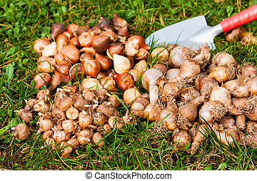 flower bulbs in the garden
