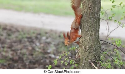 Squirrel in nature - Young squirrel on the ground, in a tree...