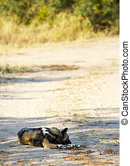 African Wild Dogs - The nearly extinct, highly endangered...