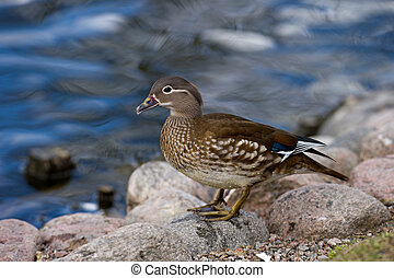 Mandarin Duck (Aix galericulata) , female - The beautiful...