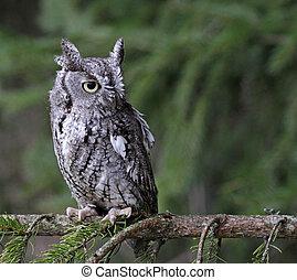 Screech Owl Look - A close-up of an Eastern Screech Owl...