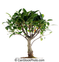 Chinese green bonsai tree Isolated on white background
