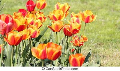 tulip flower spring scene
