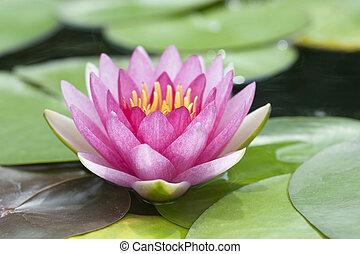 Blossom Pink Lotus