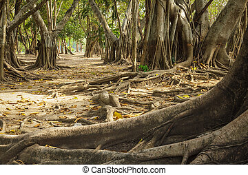 Wild banyan roots. - The roots of the banyan forest.