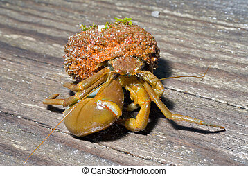 Hermit crab 20 - A close up of the hermit crab on wood