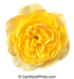 Yellow Rose Isolated - Lovely soft yellow rose, isolated on...
