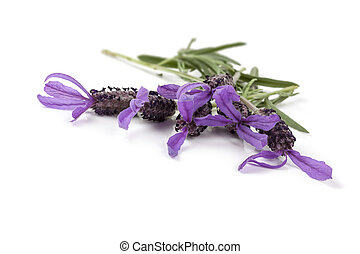 Lavender Flowers Isolated - Lavender flowers isolated on...