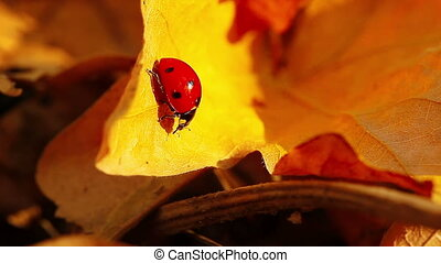 ladybird on an autumn leaf