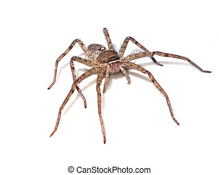 Brown spider on white background.