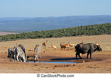 African wildlife at a waterhole - Cape buffalo, plains...