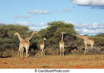 alimentação, girafas