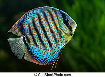 Discus, tropical decorative fish - Aquarium: tropical...