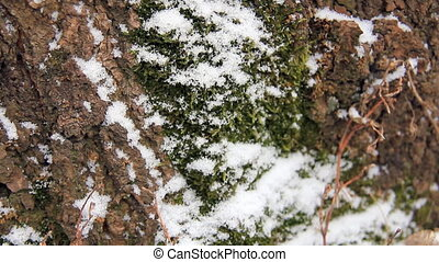 Moss in snow time-lapse