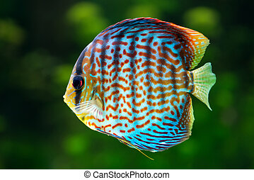 Discus, tropical decorative fish - Aquarium: tropical...