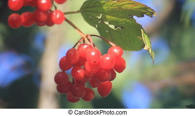 Red viburnum - Fruits of viburnum