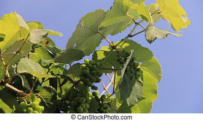 Grapevine on background blue sky