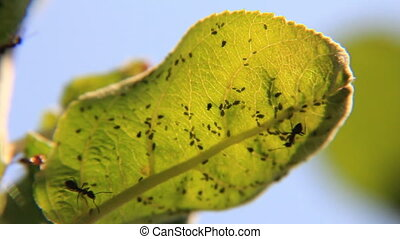 Ants inspect leaf with aphids pasture