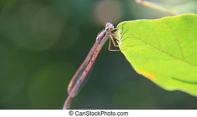 River dragonfly seats on the leaf