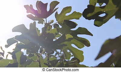 Fig leafs in sunlights