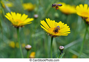 honey bees collecting pollen - Honey bees collecting pollen...