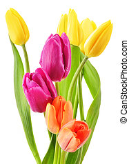 Bouquet of tulips on white background Tulipa