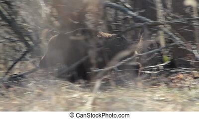 Wild boar Sus scrofa in spring