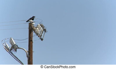 Raven on a power pole - Raven sitting on a power pole with...
