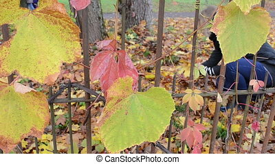 woman collect autumn leaf - woman pick gather collect...