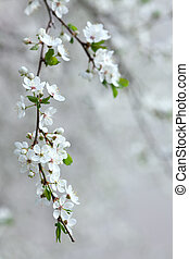 branch of blooming fruit tree - blooming fruit tree or white...