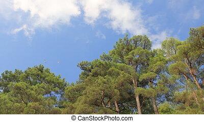 White birds slides over pines