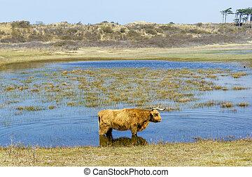 Cattle scottish Highlanders, Zuid Kennemerland, Netherlands